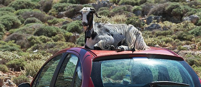 Eine Ziege auf Autodach