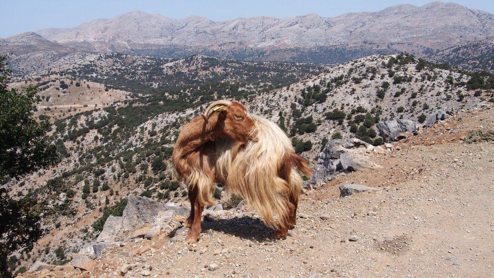 Ziegen in Samaria